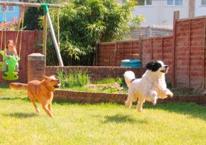 Na imagem os cachorros correm, tendo em vista que a pessoa responsável pelo terreno procurou conhecer como colocar grama no quintal corretamente